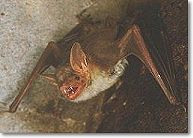 myotis myotis, belles dents non ?..., © arthaud