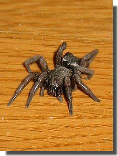 araignée sur le parquet
