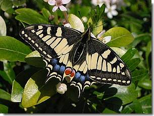 Photo d'un papilio Machaon