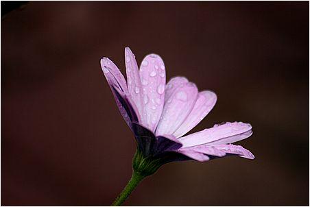 fleur mauve recouverte de gouttes de pluie