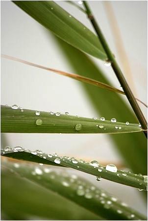 Gouttes de pluie sur des feuilles de jonc