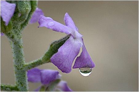 goutte d'eau sur le bord d'une pétale de fleur mauve