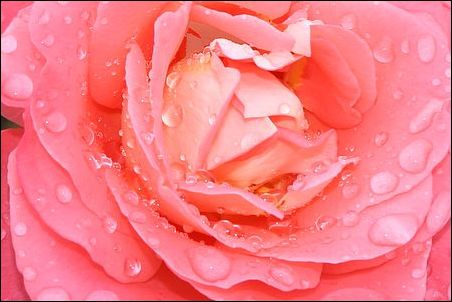 coeur de rose perlé de pluie